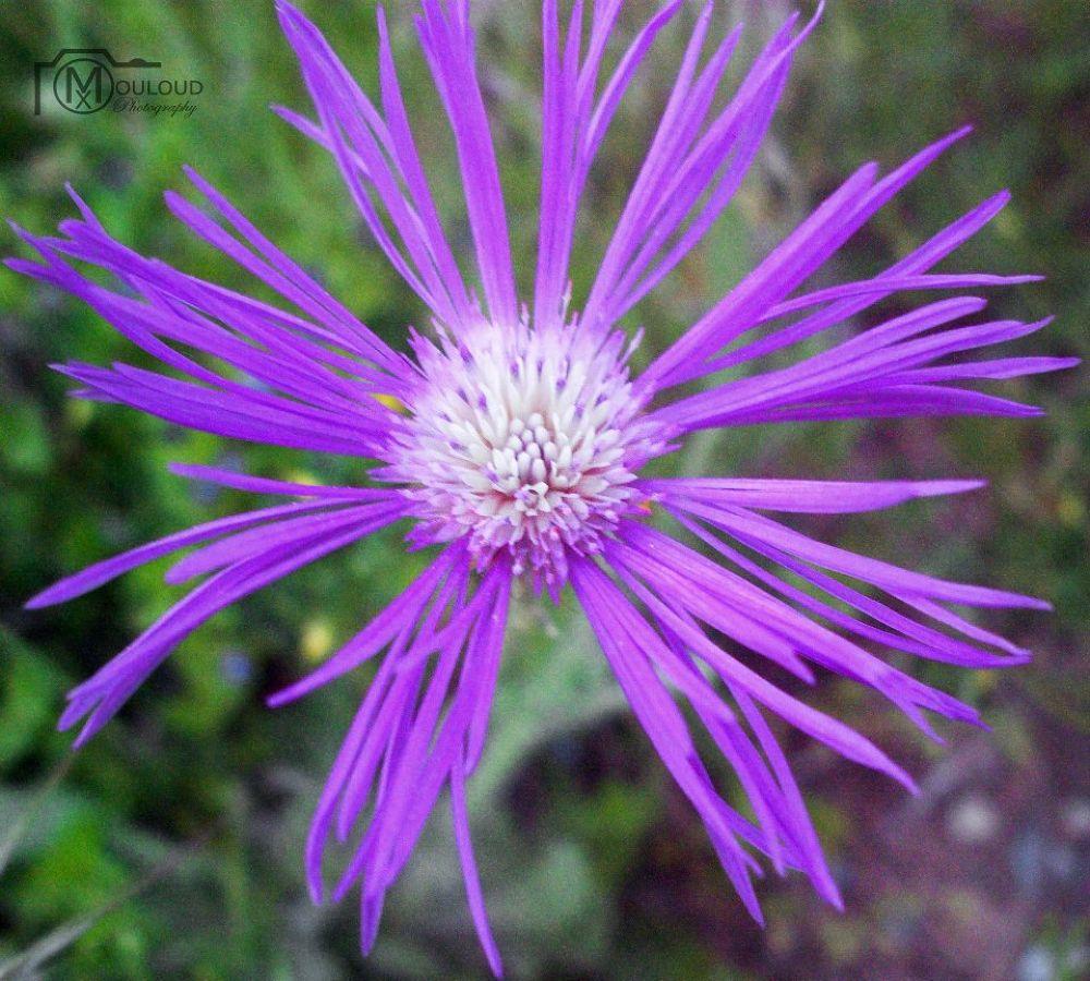 flower by mouloud oujderou