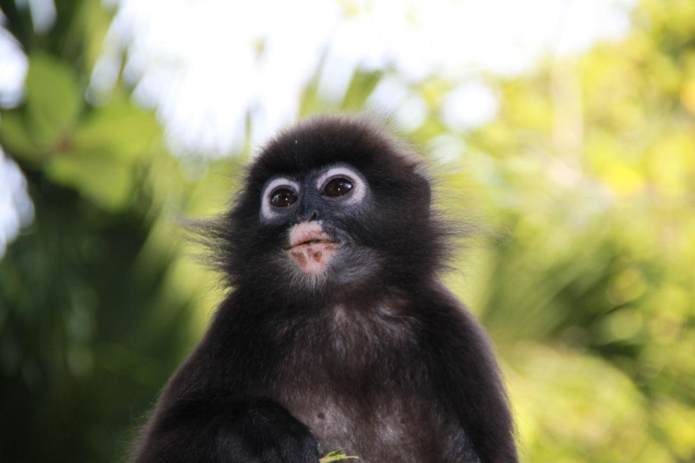 Little Monkey of Malesya by Micaela Mumolo