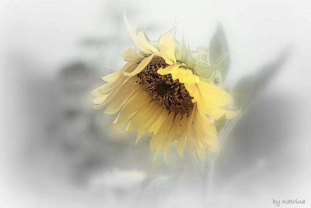my sunflower by klove