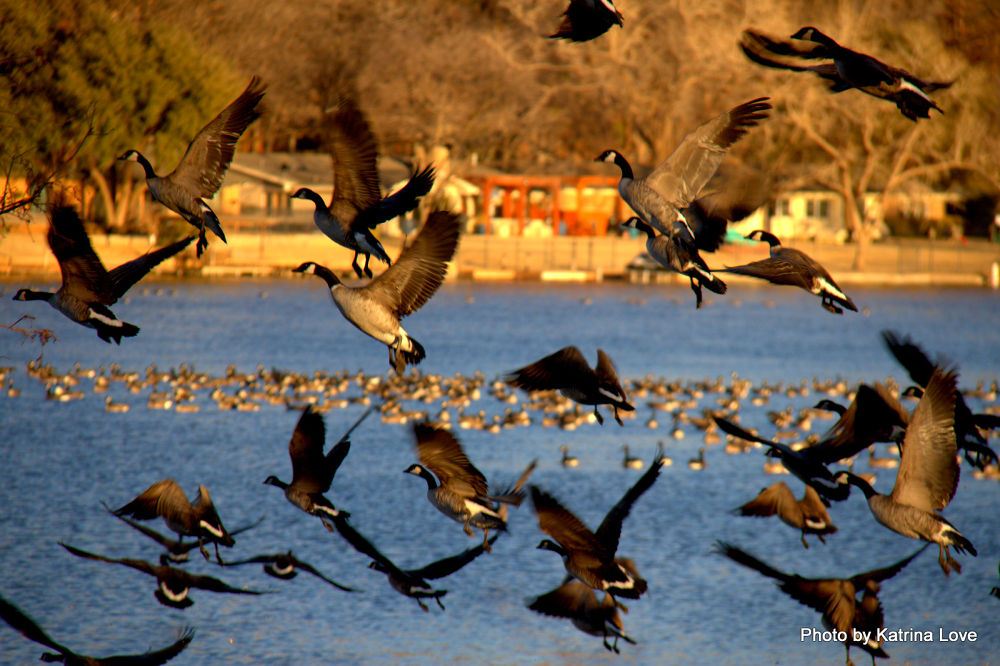Canada geese in flight over Lake Ransom Canyon Tx by klove