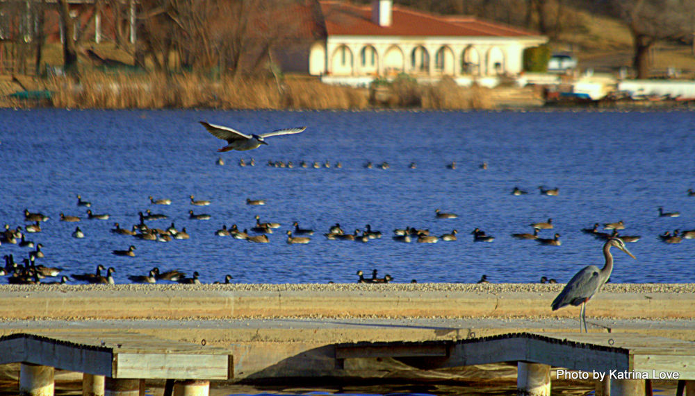 Canada geese and Herons IMG_3869 by klove