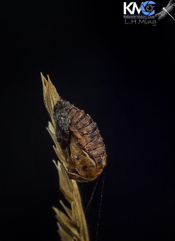 Dry/Exuvia Ladybird Pupa by lee hua ming
