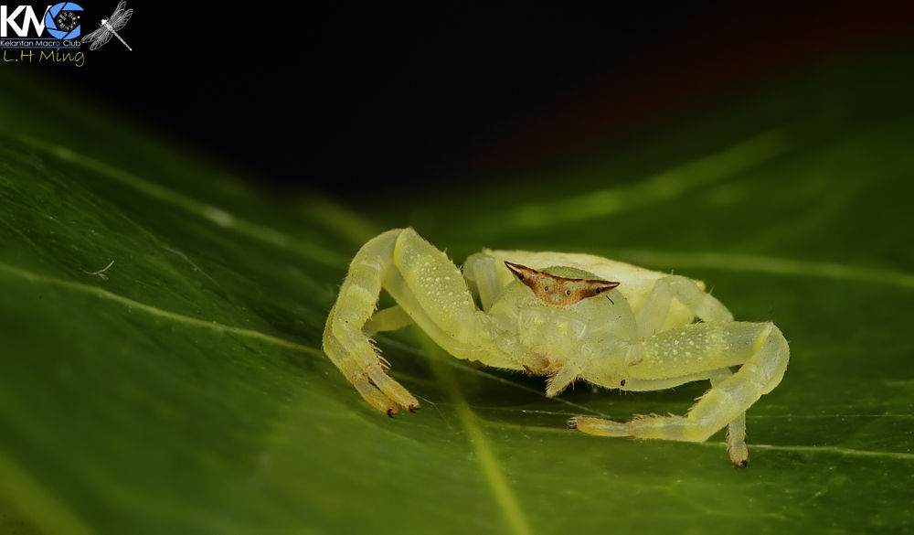 Crab Spider, Kg Sg Limbat by lee hua ming