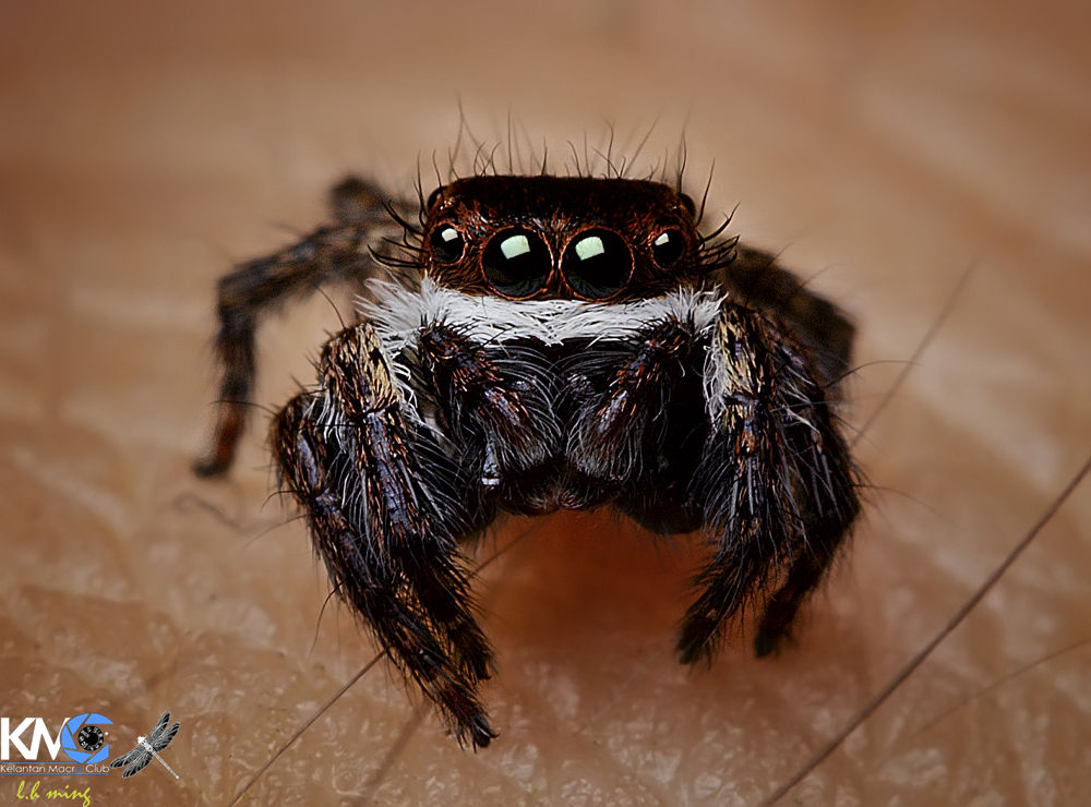 Jumping spider, Tmn Tg Anis by lee hua ming