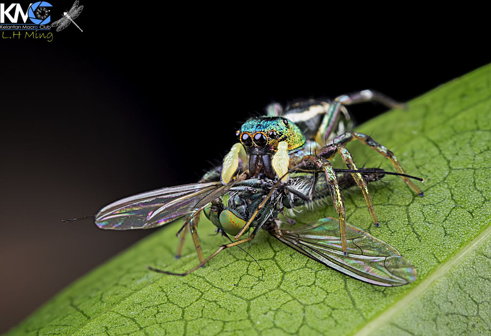 Jumping spider eating long legged fly, kg sg limbat by lee hua ming