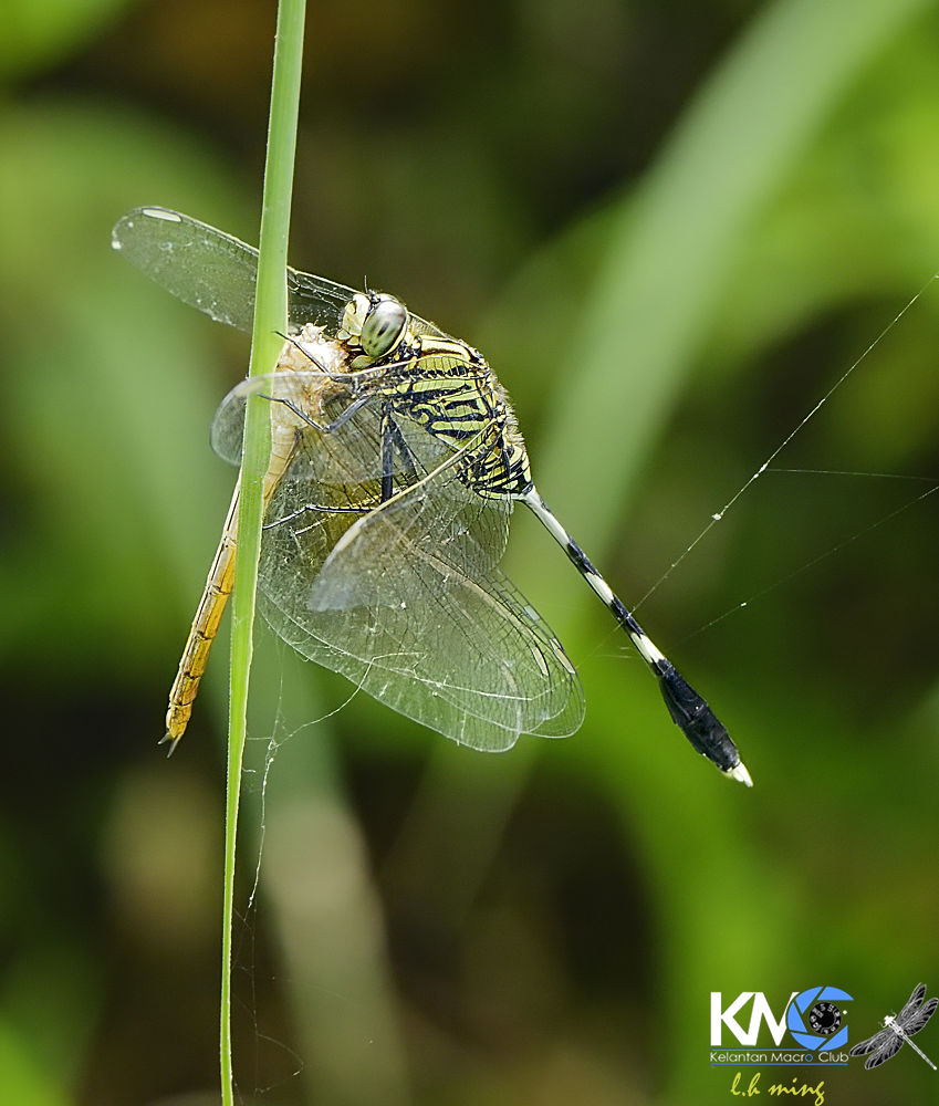 Dragonfly eating dragonfly  by lee hua ming
