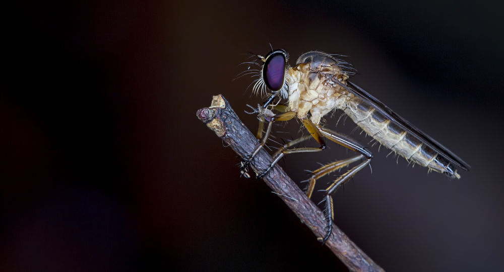 Robberfly by lee hua ming