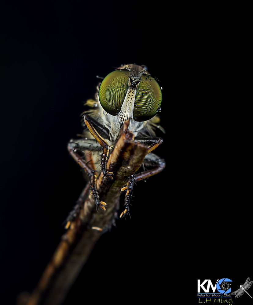 Robberfly playing with rain by lee hua ming