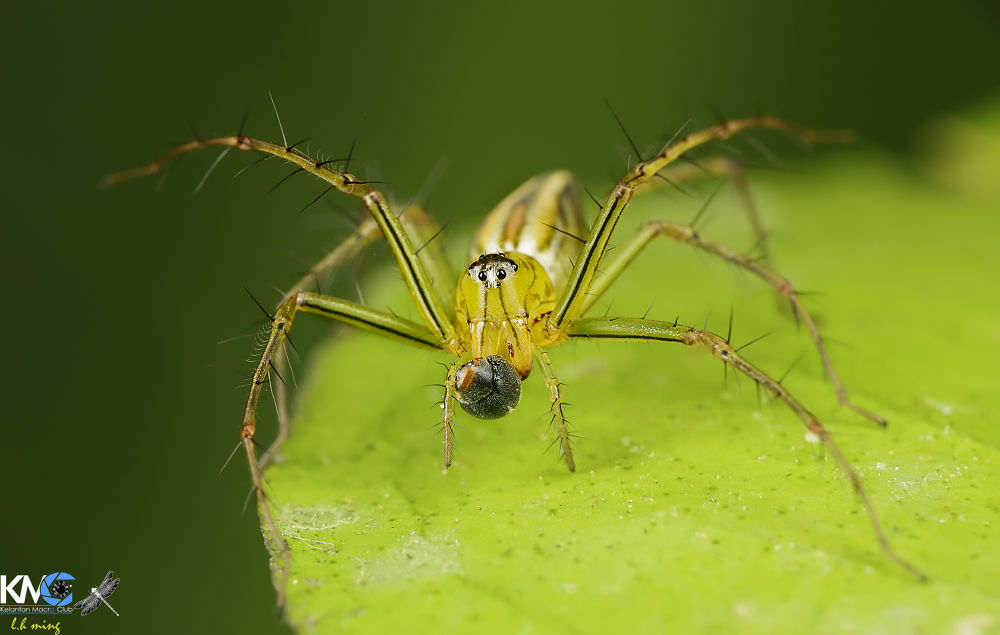 Lynx Spider with his prey, Kg Sg Limbat by lee hua ming