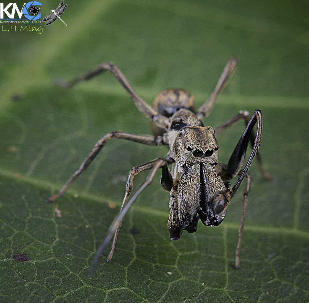 Photo in Macro #spider #anit mimic spider #macro