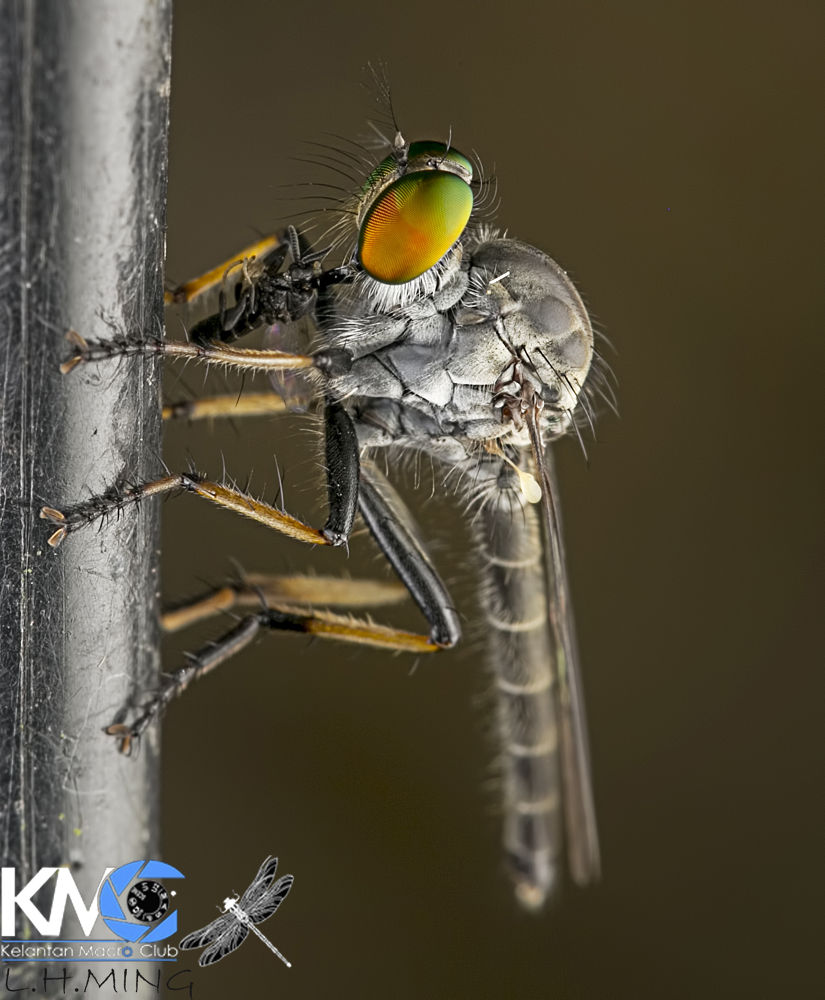 Robberfly having lunch by lee hua ming