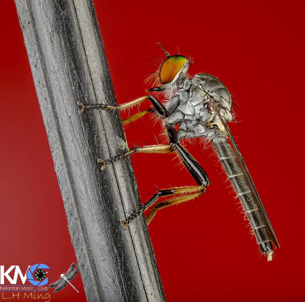 Photo in Macro #robberfly #robberflies #macro