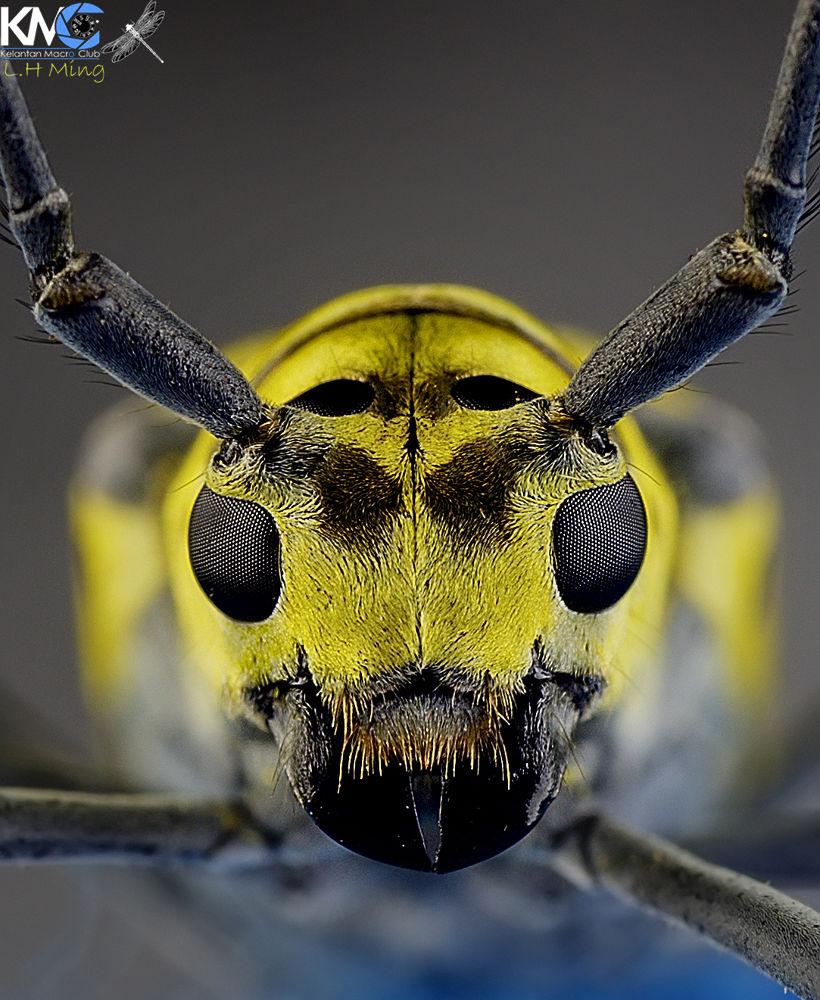 Long Horn Beetle, Kg Kraftangan by lee hua ming