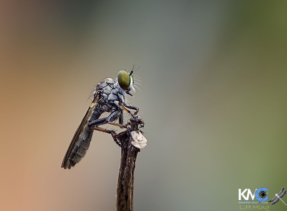 Robberfly (Natural Light) by lee hua ming