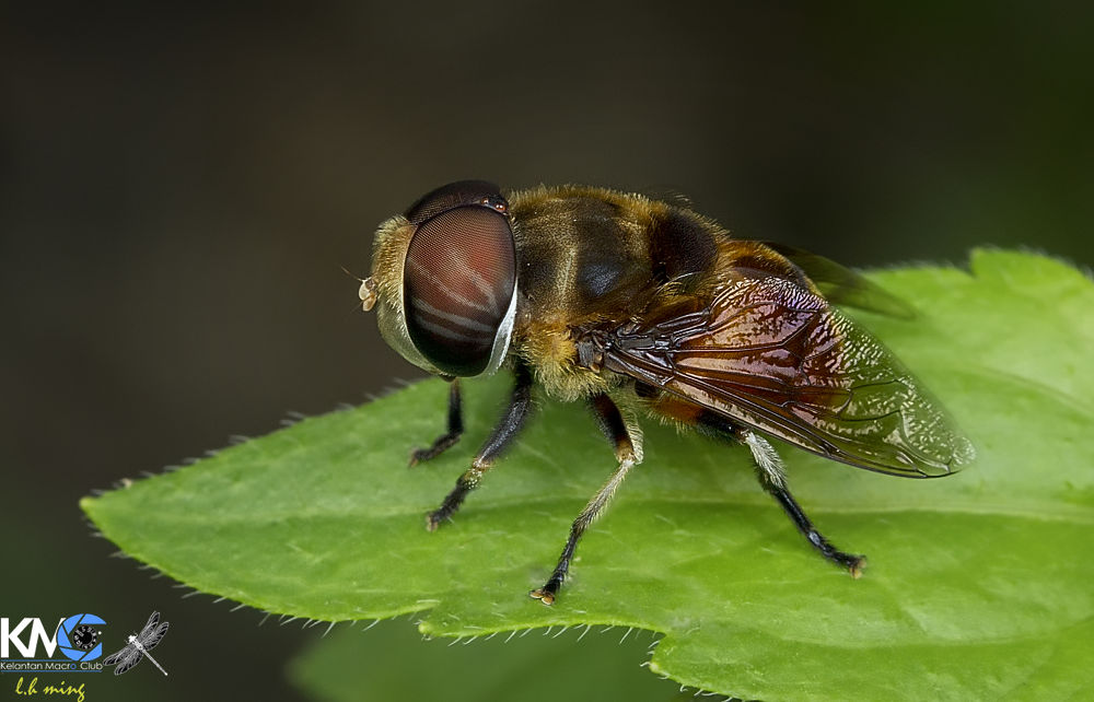 Hoverfly, Kg Sg Limbat by lee hua ming