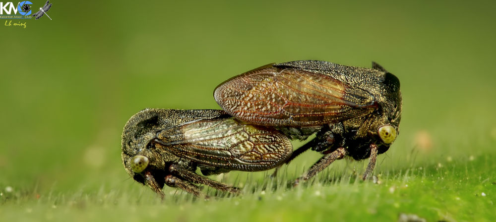 Mating Treehopper, Kg Sg Limbat by lee hua ming
