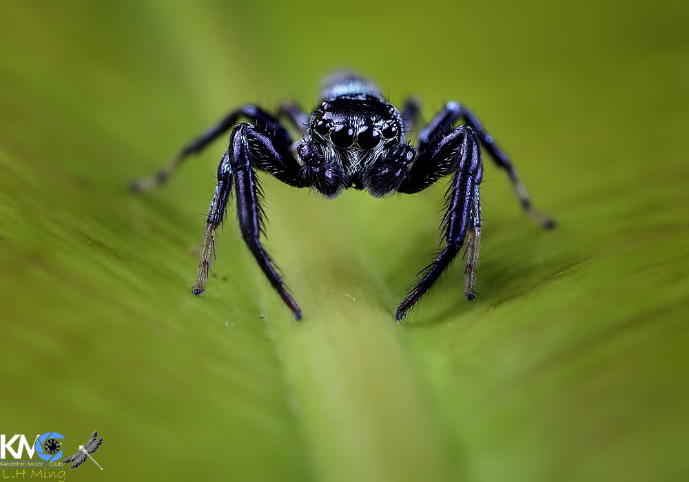 Jumping Spider, Kg Sg Limbat by lee hua ming