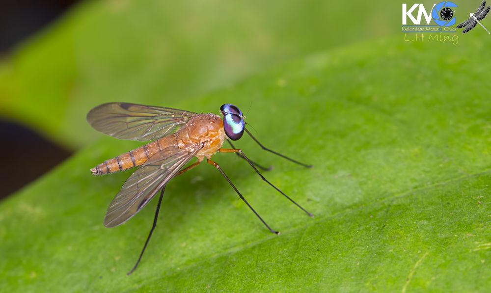 Long Legged Fly, Dolichopodidae by lee hua ming