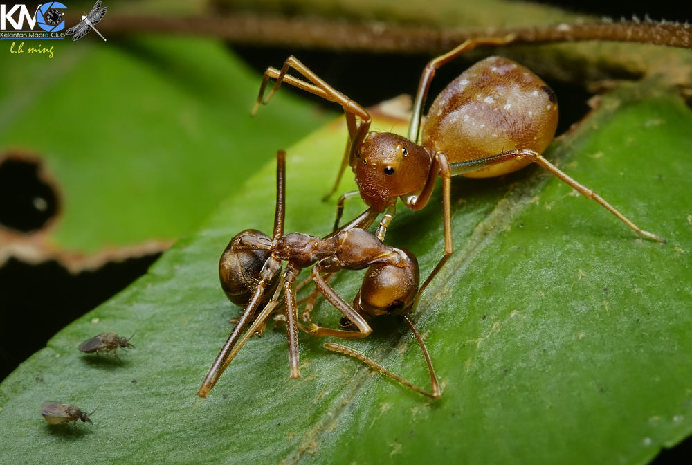 Ant mimic crab spider Amyciaea with weaver ant prey, Ladang RF pauh lima by lee hua ming