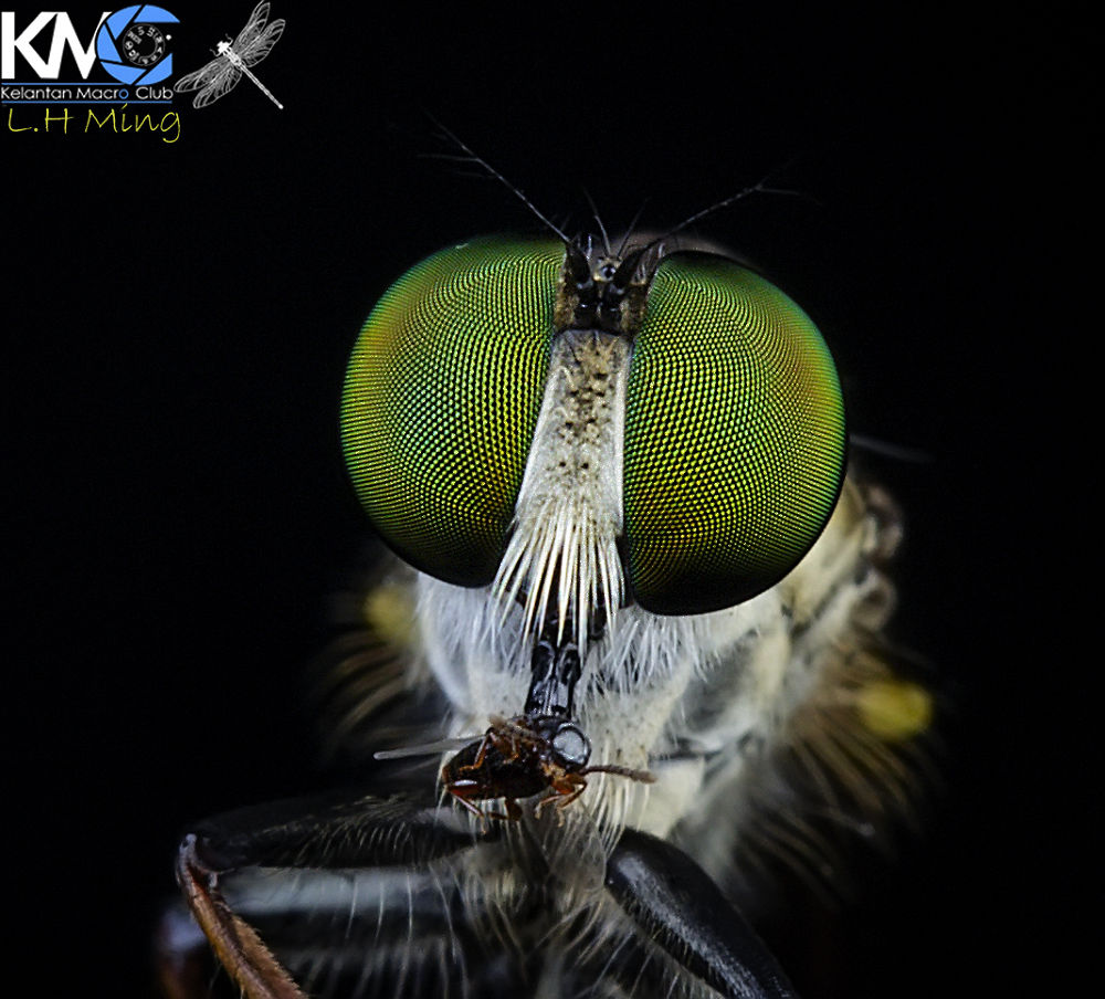 Robberfly eating his prey,  Kg Sg Limbat by lee hua ming