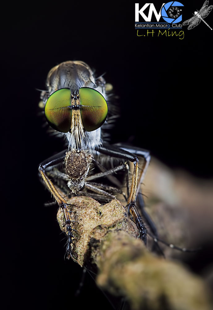 Robberfly with his prey by lee hua ming