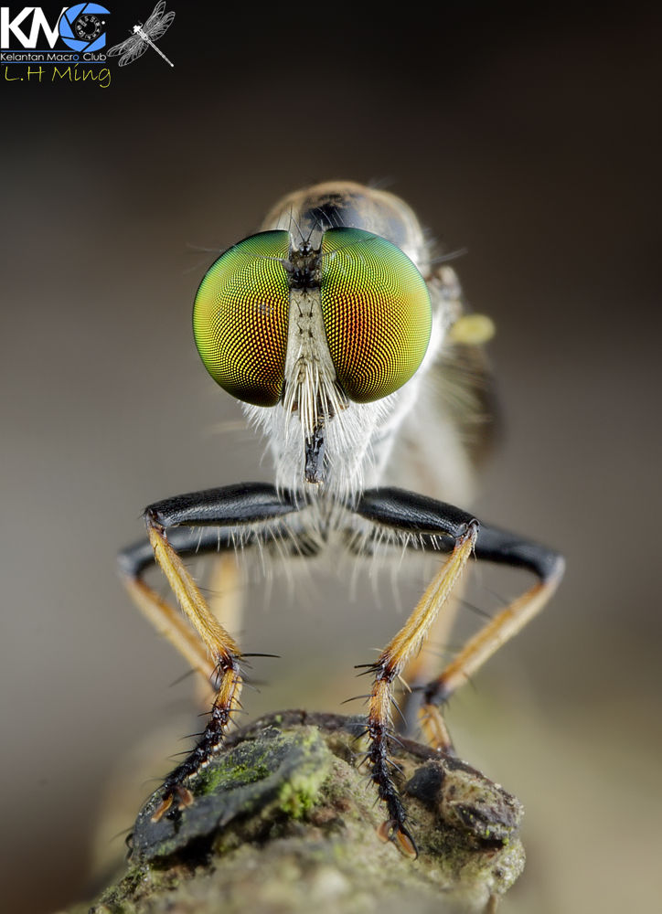 Robberfly, Kg Sg Limbat by lee hua ming