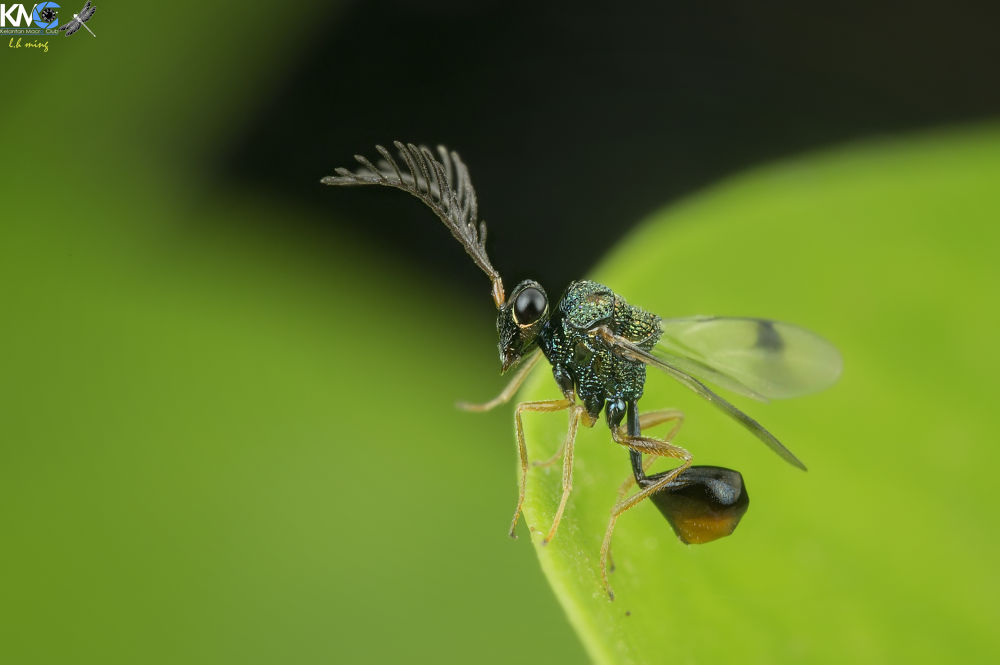 Eucharitid wasp , Taman Tg Anis by lee hua ming