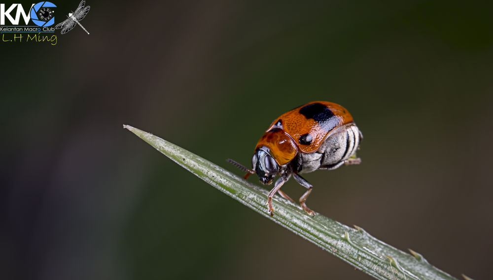 Ladybird by lee hua ming