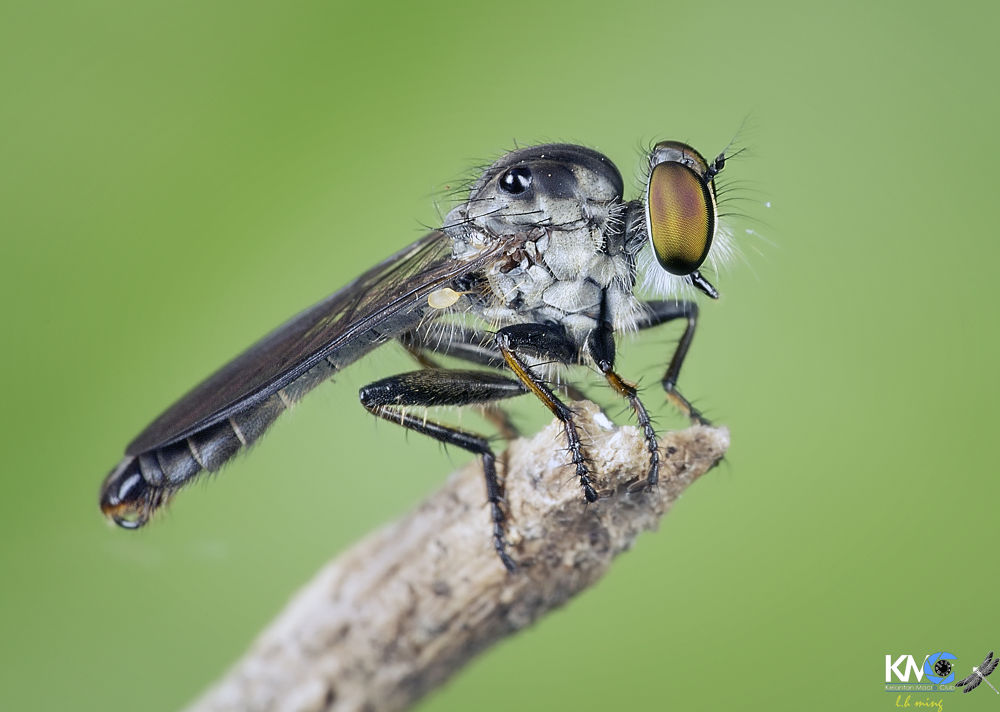 Robberfly , Taman Tg Anis by lee hua ming