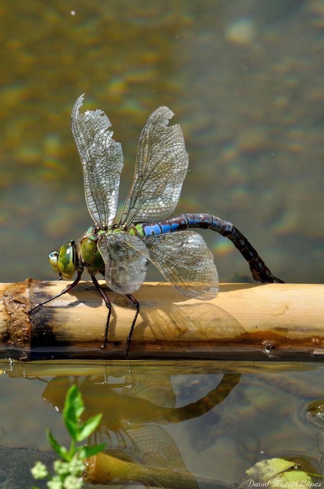 Anax Imperator dragonfly by davidmartinlopez