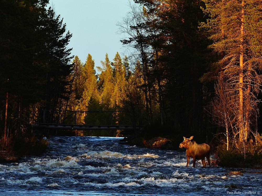 River crossing moose by aplog1