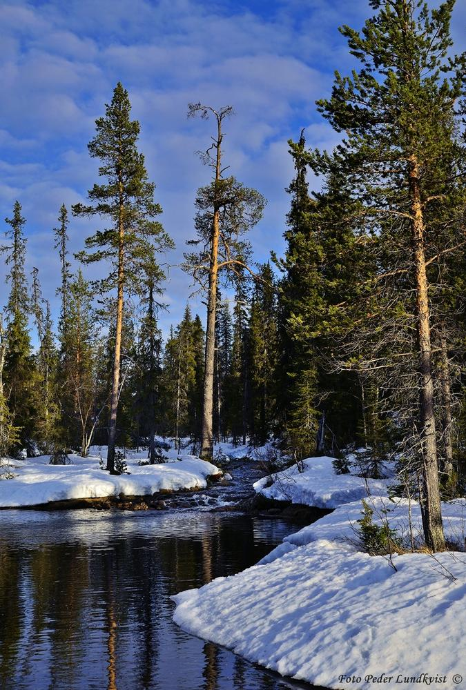 Photo in Nature #nature #forest #trees #snow #landscape #taiga #colours #water #creek #lappland