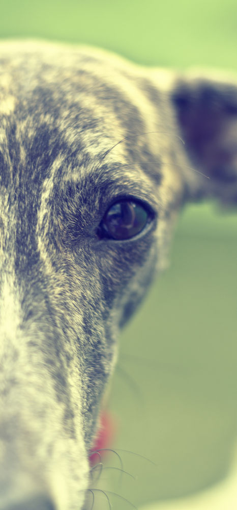 My dog, Lista. She is a Galgo by Nami Swan