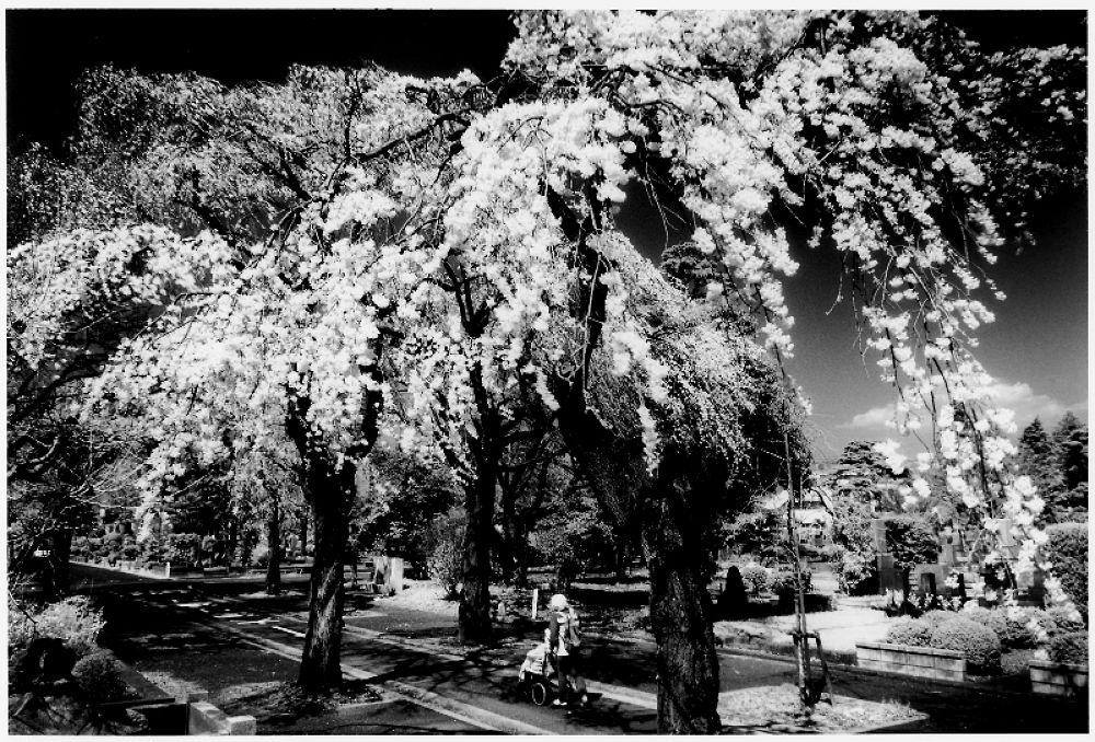 多磨霊園しだれ桜 by Kenji Ishida