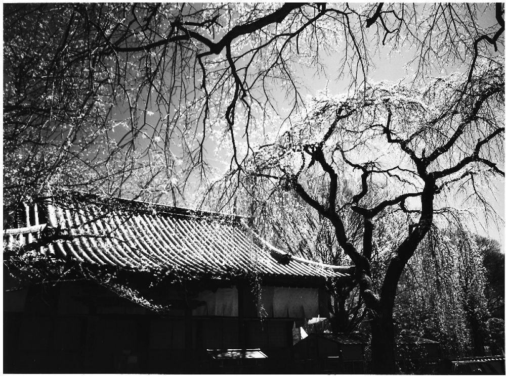 しだれ桜 by Kenji Ishida