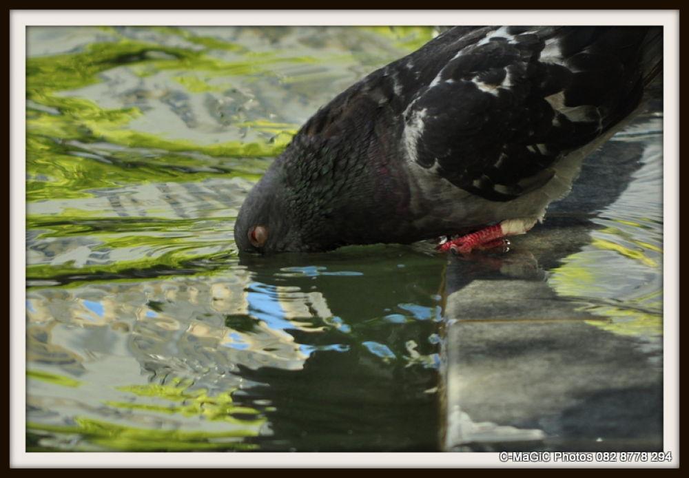 Pigeon dunk by ClaraMaGiC