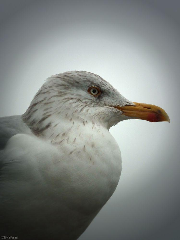 Portrait Herring gull by SilviaPhotos