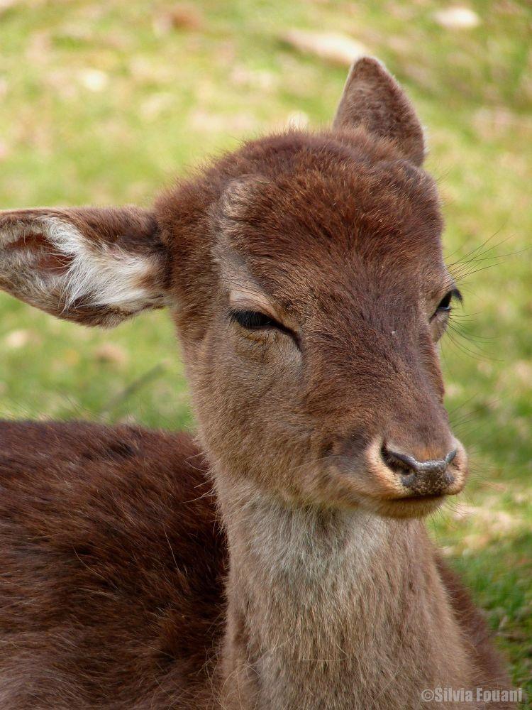 "A ""deer"", cute face by SilviaPhotos"