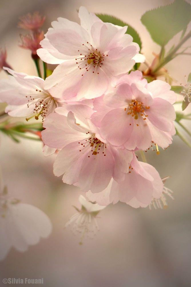 Tender Blossom by SilviaPhotos