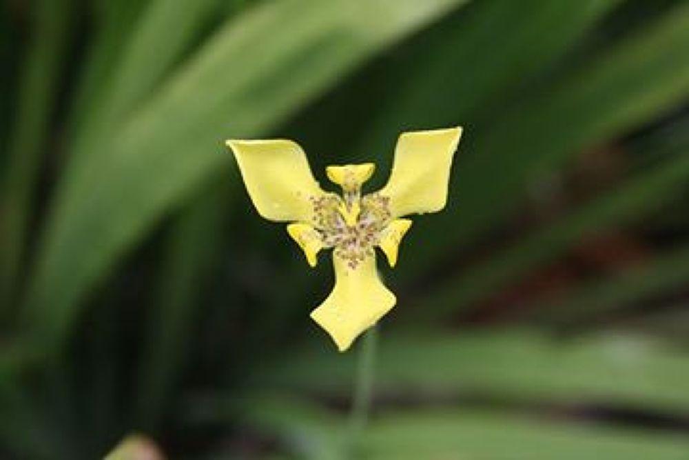 Yellow walking iris by PaulYap