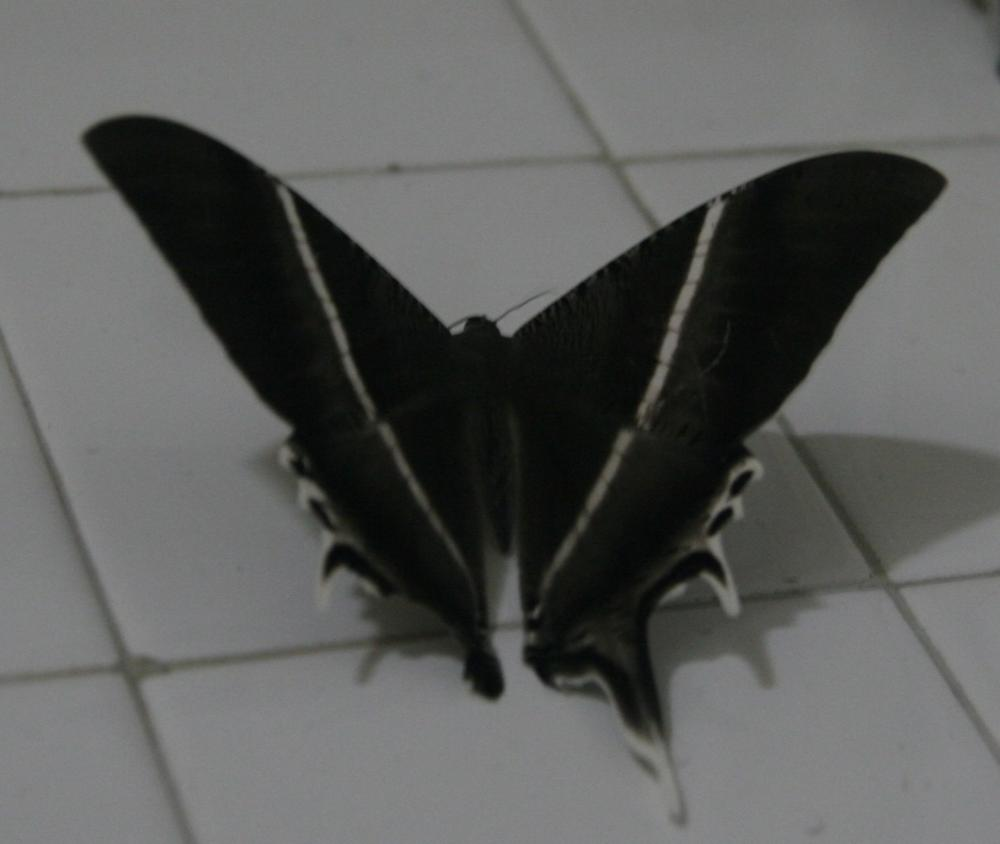 Lyssa zampa Moth by PaulYap