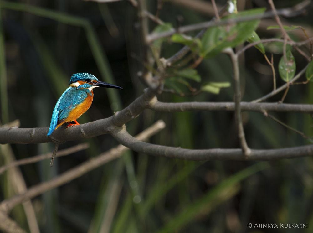 Small Blue Kingfisher by Ajinkya Kulkarni