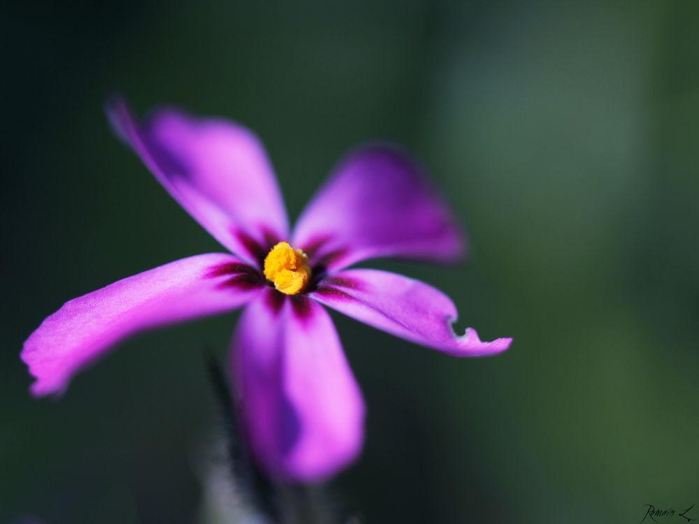 Little Flower by Romain L.