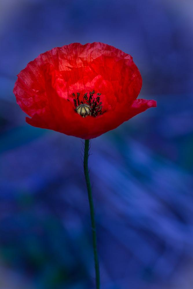 First Poppy by Romain L.