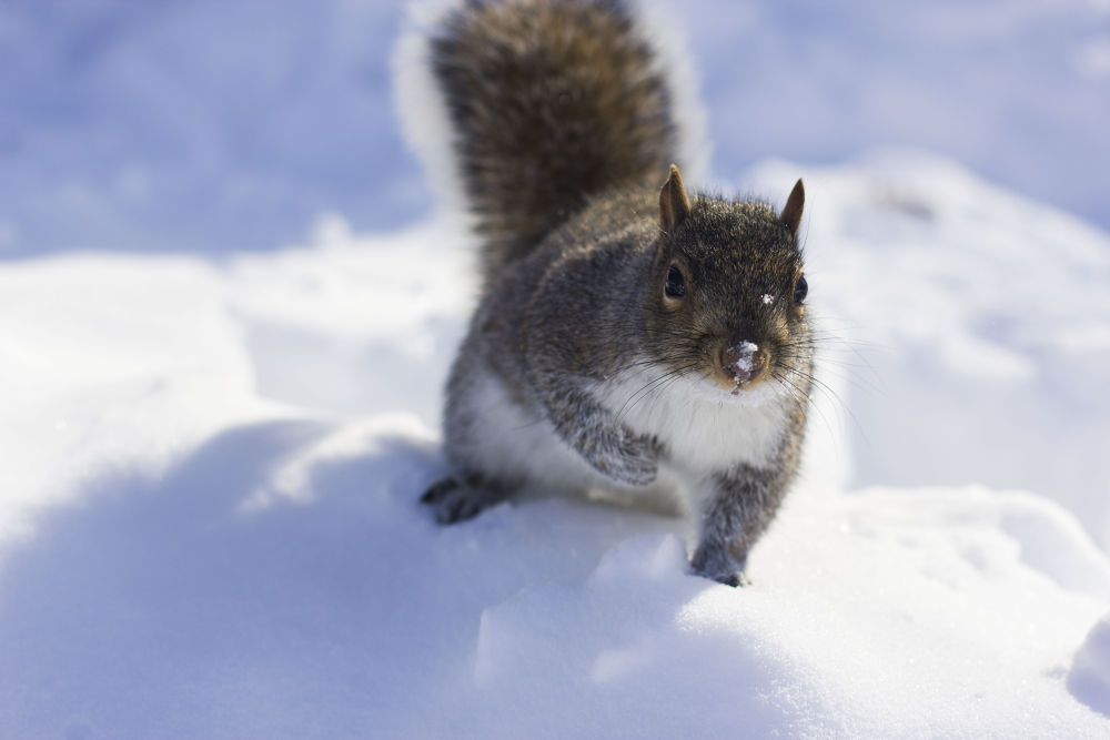Squirrel 2 by Meho
