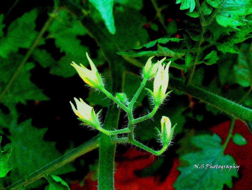 Flowers of Tomato by Narayan Sarma