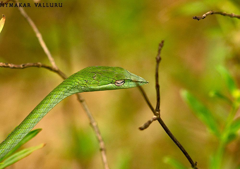 Green-Vine-Snake by Hymakar