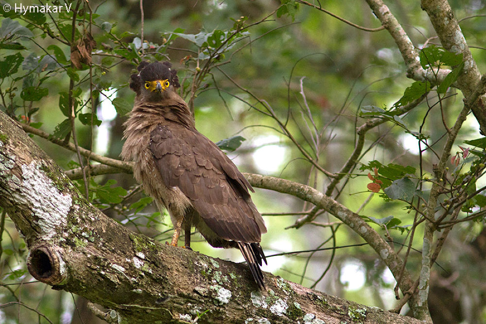 Crested Serpent Eagle by Hymakar