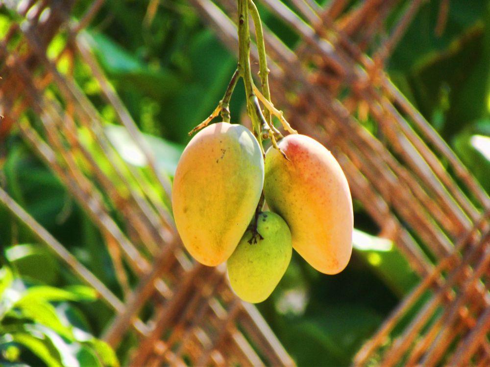 Mango by Mohamed Hamde