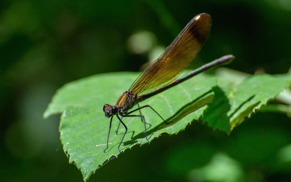 Calopteryx haemorrhoidalis  by lianeria